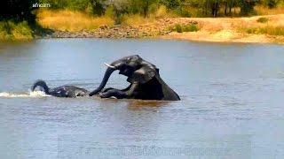 Дикая природа Африки Молодые слоны бегают друг за другом под храп бегемота в озере :)
