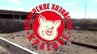 Свинья венгерская мангалица - фермерское хозяйство «Красное»