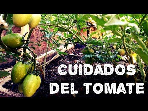 Cuidados En El Cultivo Del Tomate(AGRICULTURA ORGÁNICA)
