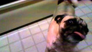 Peanut Butter Pug Nose