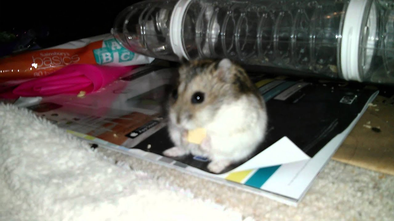 Russian Dwarf Hamster Eating A Cashew Nut