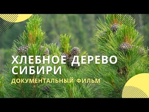 Хлебное дерево Сибири