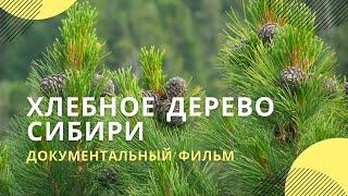 Фильм 'Хлебное дерево Сибири'