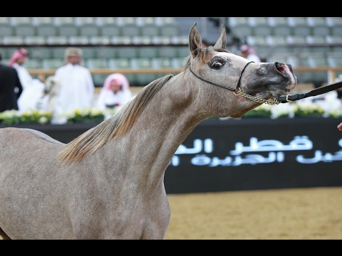 7th Qatar International Arabian Peninsula Horse Show - 11th FEB 2017