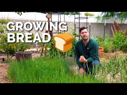 How to Grow Wheat | Seed to Harvest