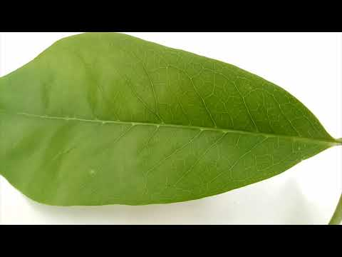 Side Effects of Soursop Leaves
