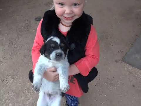 Piper x Duke Texas Heeler puppies at 5 weeks old