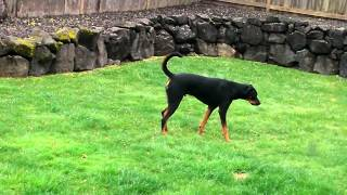 What My Rottweiler, Doberman Mix Looks Like.