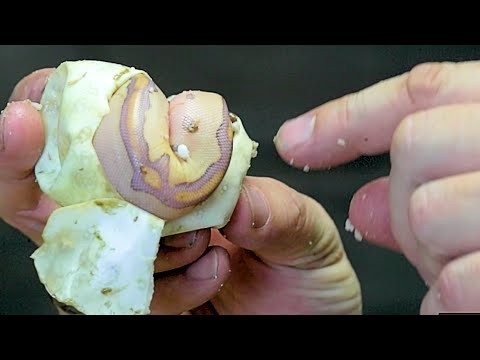 HATCHING THE MOST EXPENSIVE SNAKES OF THE YEAR!!   BRIAN BARCZYK