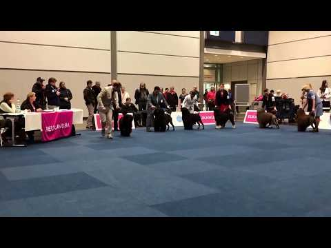 WDS 2017 Portuguese water dog Champion class male