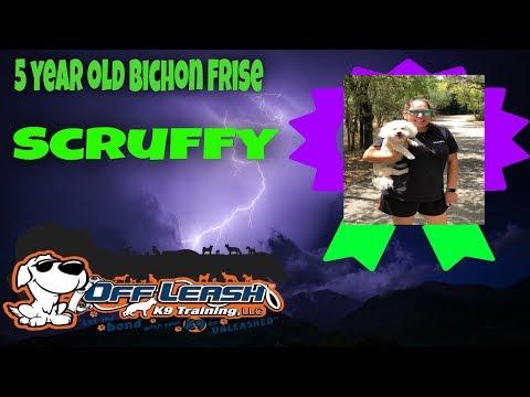 "Bichon Frise Mix ""Scruffy""   Obedience Training   San Antonio Dog Trainers"