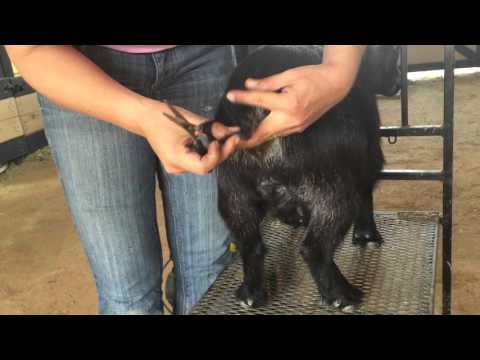 Grooming a African Pygmy Goat for a Show (Part 2)