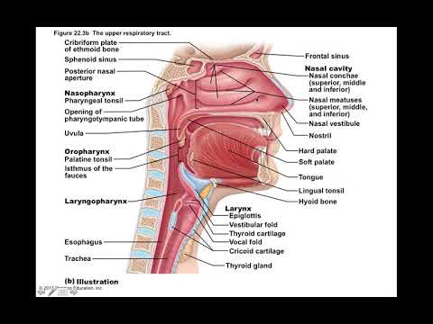 Chapter 22 Respiratory System Part1 - YouTube