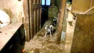30 собак в доме (отсняли тех, кого нашли) Долгожданное видео №2((Киреевск) ссылка для репоста http://vk.com/mine_kampf?w=wall212244508_3203 Ситуация для написания триллера! (помогите собрать..., 2015-03-30T16:45:13.000Z)