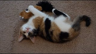 Rescue Kitten Carries Toy Bear Everywhere!