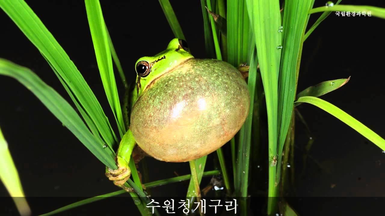 Suweon tree frog sound youtube