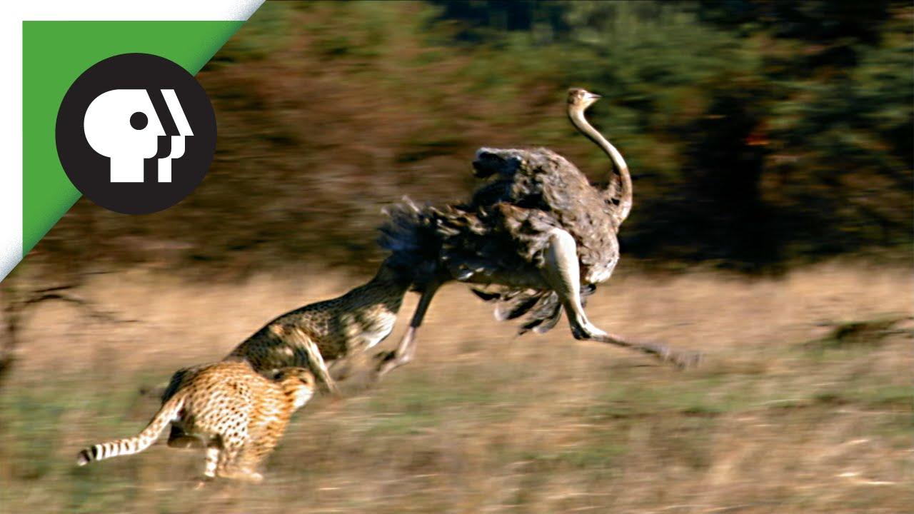 Ostrich Running From Lion