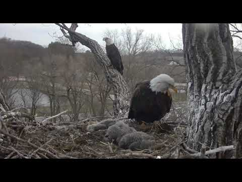 Decorah Eagles Unidentified Male Eagle On SkyWalk 4/24/18
