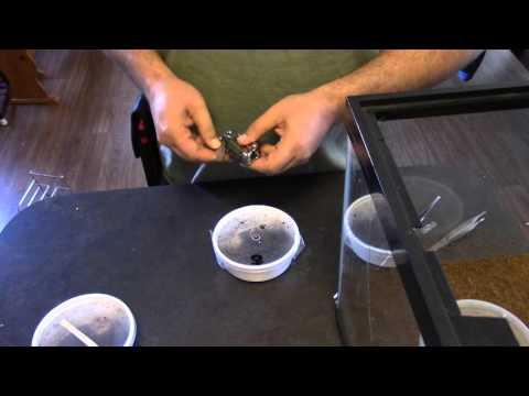 Unboxing Cobalt Blue Tarantula from Backwater Reptiles