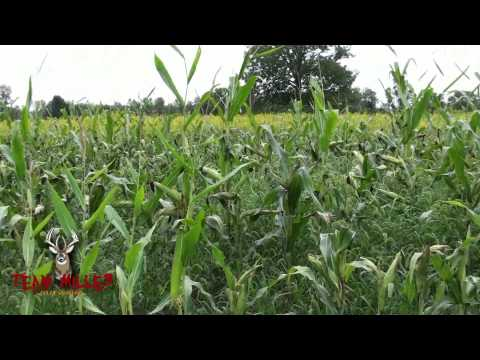 White Tail Food Plot - Planted by Hand- Round-Up Ready Field Corn