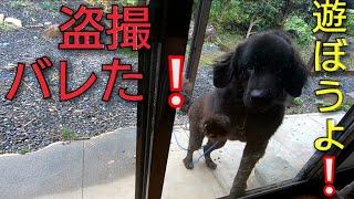 超大型犬NewfoundlanddogのBOSS君を盗撮しました|ω・) しかし❕さすがB...