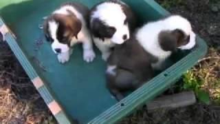 超大型犬セントバーナード子犬!!<子犬の利根RS>