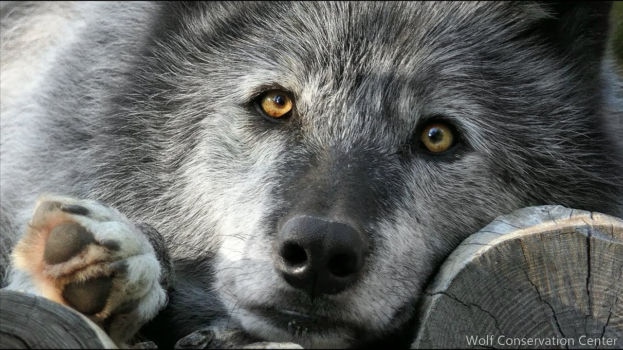 Look Into the Eyes of a Wolf