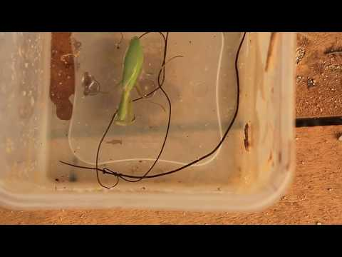 Three giant parasites explode out of zombie praying mantis