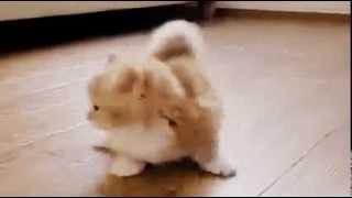 Коротконогий кот