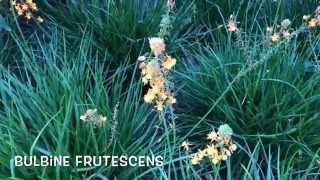 Bulbine frutescens. Garden Center online Costa Brava - Girona.(Bulbine frutescens. Garden Center online Costa Brava - Girona. Web: http://personalgardenshopper.es/, 2015-06-24T11:16:18.000Z)