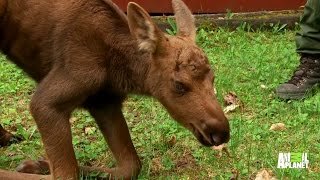 A Baby Moose Orphan Gets a Second Chance