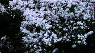 Video Beautiful Blackthorn Blossom download MP3, 3GP, MP4, WEBM, AVI, FLV Desember 2017
