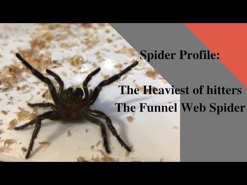Spider Profile: How Dangerous Are Australian Funnel Web Spiders?