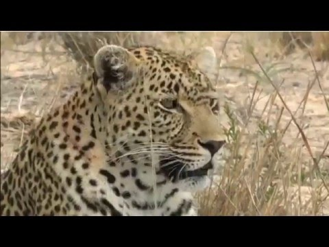 wild africa sunset drive 2-1-2016 lots off action Wild dogs and 2 Leopards