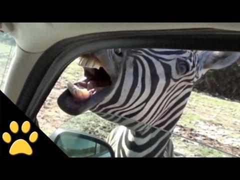 Safari Animals: Compilation