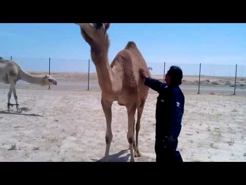 Camel inside the aramco