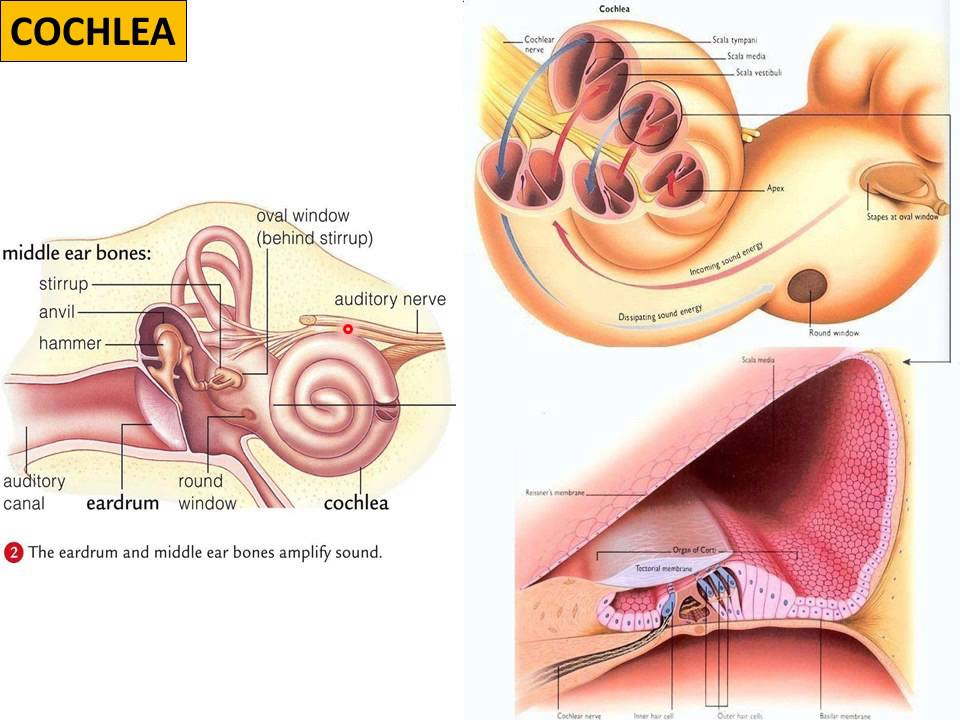 VIDEO ON HUMAN EAR - YouTube