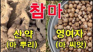 산마 (씨앗=영여자 / 뿌리=산약)의 효능