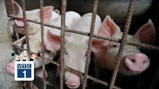 """Giá lợn hơi tăng """"chóng mặt"""": Lạ đời!"""