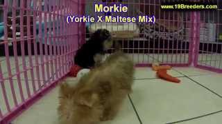 Morkie, Puppies For Sale, In, Nashville, Tennessee, Tn, County, 19breeders, Knoxville, Smith