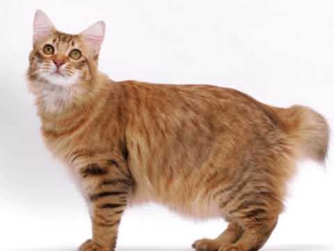 short tail cats