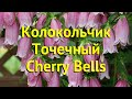Колокольчик точечный Черри Беллс. Краткий обзор campanula punctata f. rubriflora Cherry Bells