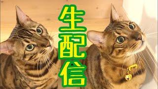 【生配信4/25】パパさん不在のため猫達とワチャワチャする生配信