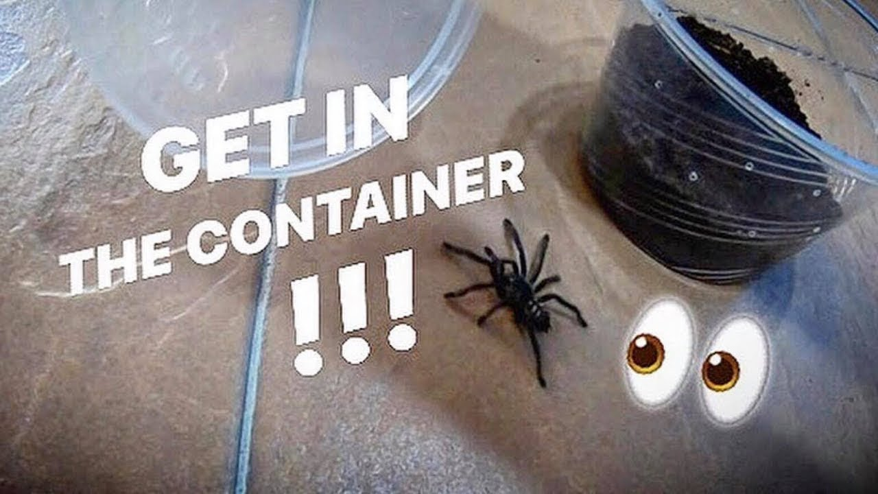 My LAST ATTEMPT at keeping a Venezuelan SUN TIGER TARANTULA ~ Yes, LAST !!! - download from YouTube for free