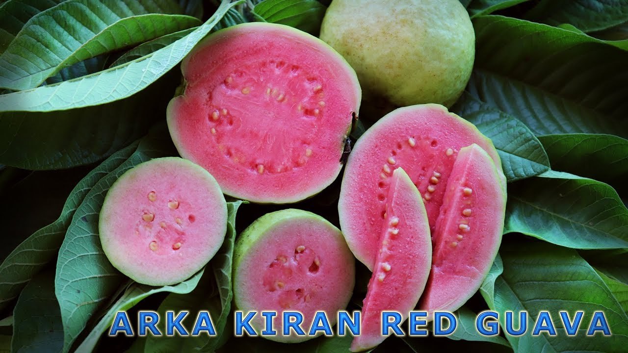 Red Guava | Arka Kiran Guava Cultivation and Benefits