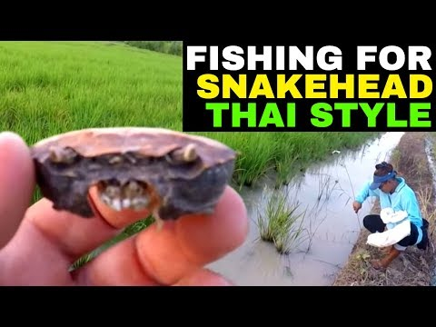 FISHING IN A THAI RICE PADDY FARM Rural life Thailand Homestead THAI VLOG THAI VLOGG วิดีโอตลก
