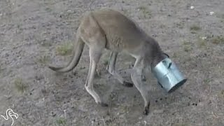 Kangaroo's Head Was Stuck In A Can Until These Men Came Along