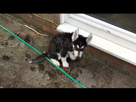 Buying and Owning a Siberian Husky - Blog #3