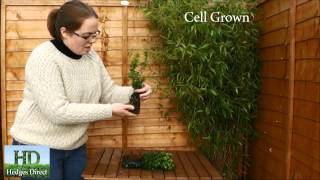 About Box Hedging - Buxus Sempervirens - Box Hedge Plants From Hedges Direct