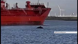 'Humpback whale' spotted swimming in River Thames (1) (UK) - BBC London News - 7th October 2019